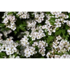 Weißdornblüten mit Blättern 1 kg